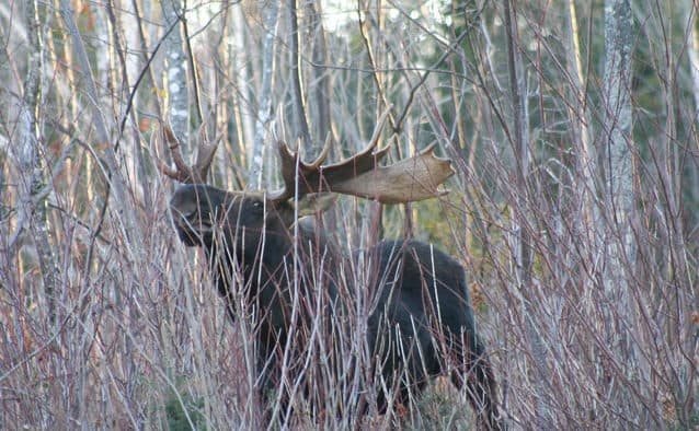 Vermont moose hunting applications are now available