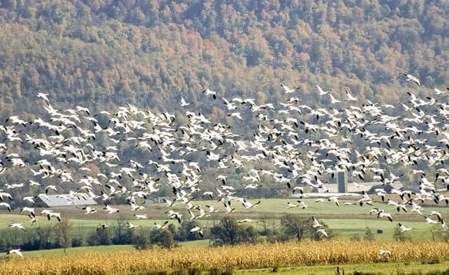 Spring snow geese flock
