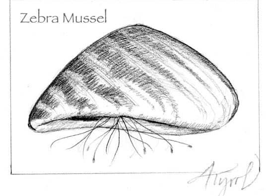 Zebra mussels: voracious filter feeders