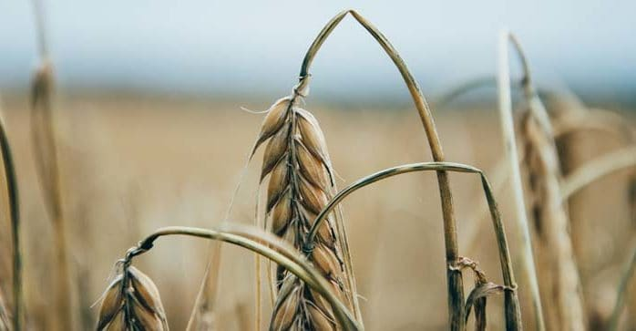 Against the grain: Why grain consumption may be the underlying cause of your health issues