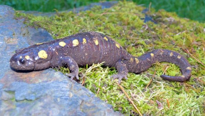 Squish! Throngs of frogs, salamanders cross springtime roads