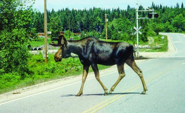 """""""Moose crossing"""""""