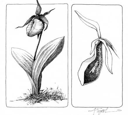 The Outside Story: Lady's-slipper season