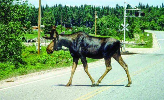 Be alert, avoid moose on roads