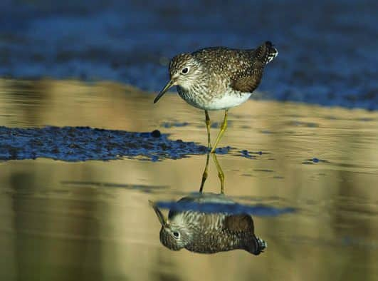 Shorebirds migrate through Vt.