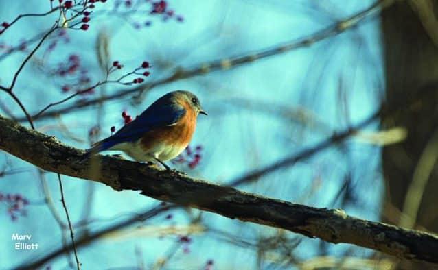 Rutland's 43rd Christmas Bird Count tallies 53 species