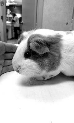 Guinea Pig emergency