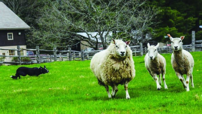 Billings Farm presents sheep events this weekend