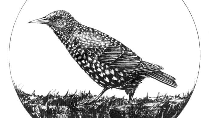 Starlings aren't darling
