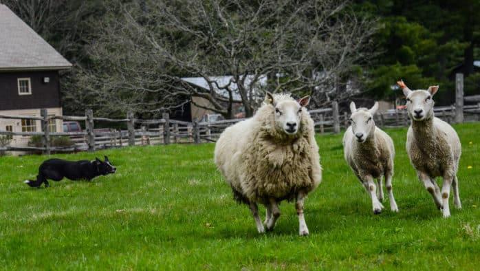 Billings Farm & Museum features SheepShearing &Herding