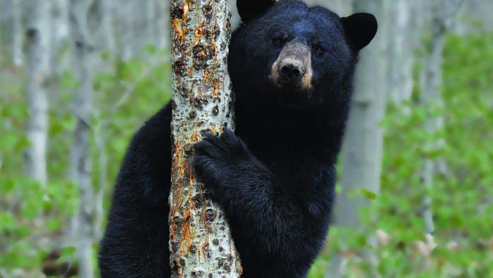 UVM students study Killington's bear conflicts