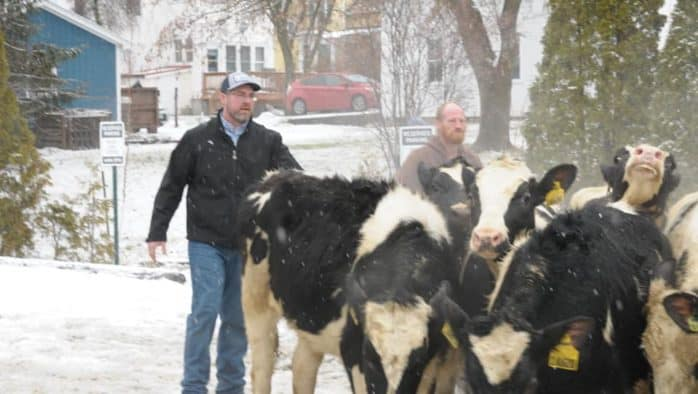 Cows escape truck, run through Middlebury on New Year's Eve