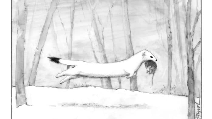 The Outside Story: Winter Weasels – White on white