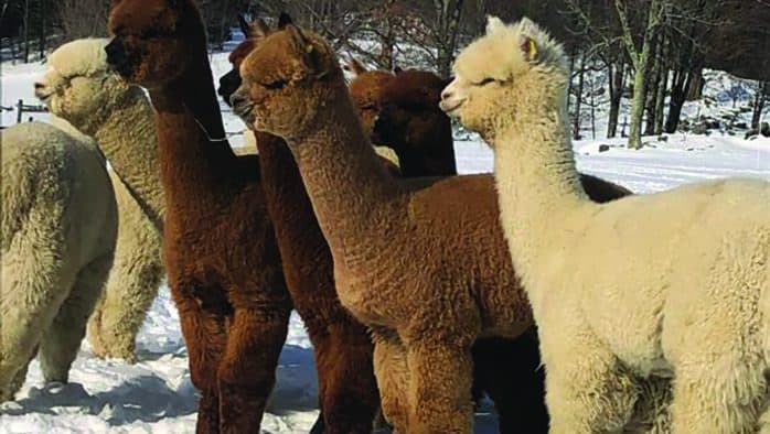 On Ascutney mountain, alpaca research leads to a worldwide first