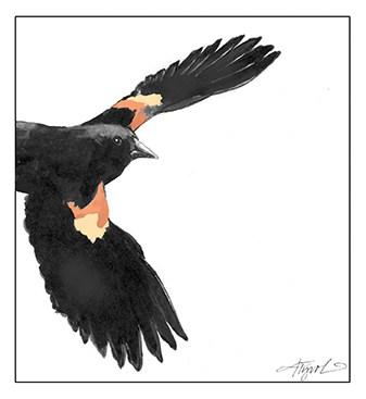 Red-winged blackbirds return