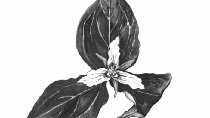 Trillium: A beauty of the spring woods