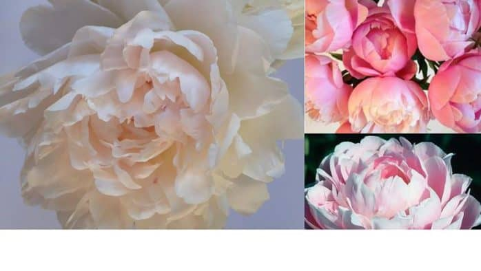 Purchase peonies to benefit school