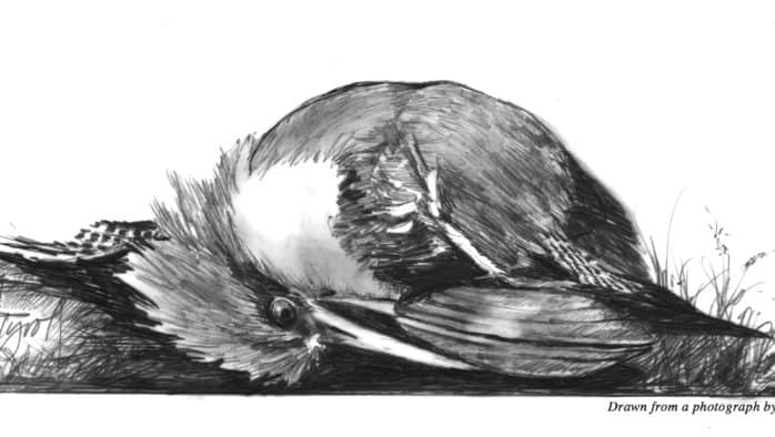 The kingfisher and the mussel