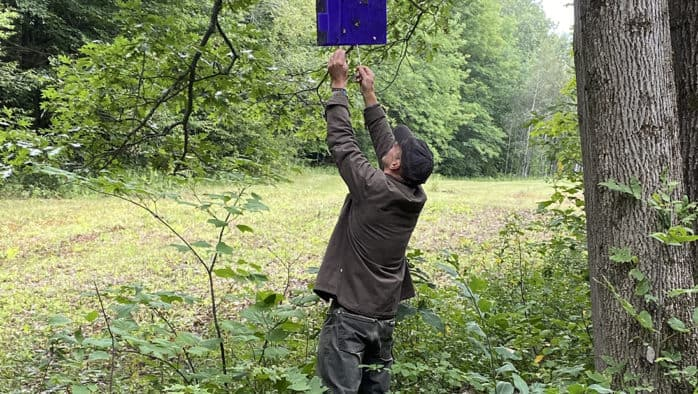 Purple traps for emerald ash borer removed in Ludlow